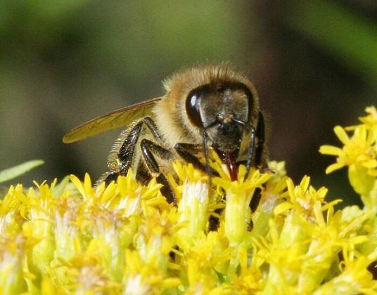 Eine Biene saugt mit ihrem Rüssel den Nektar einer Blüte auf (Foto von Frank Mikley)