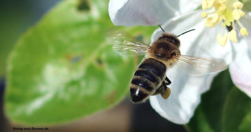 An den Hinterbeinen hat die Biene gelbe Pollenhöschen.