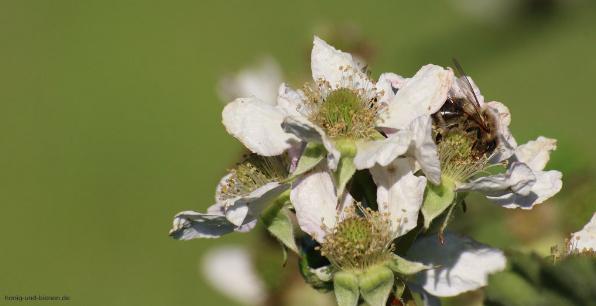 Bienen streifen durch Blüten und nehmen so den Blütenstaub auf bzw. verteilen ihn.