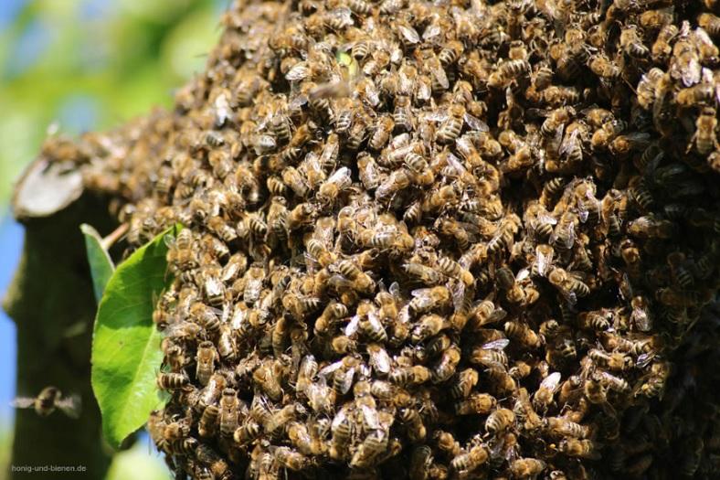 Bienen bilden Gemeinschaftsformen - hier ein wilder Bienenschwarm.