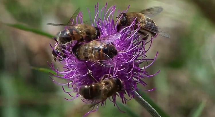 Bienen und Blueten