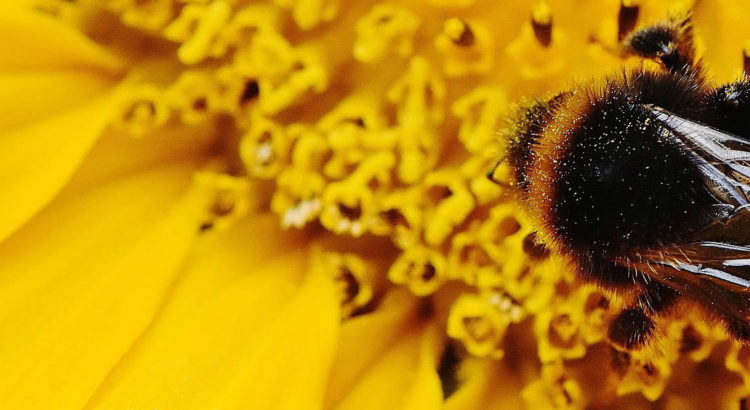 Hummeln (Bombus) mögen Sonnenblumen