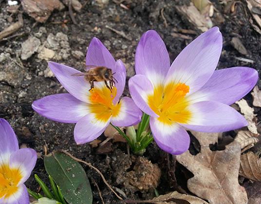An Krokussen laben sich die Bienen schon im März