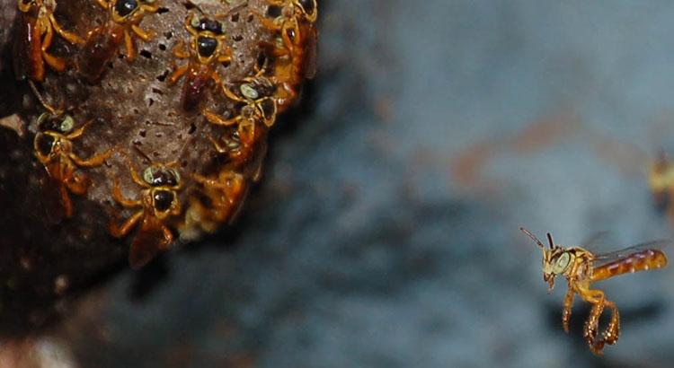 stachellose bienen lassen nester von soldatinnen verteidigen honig und bienen. Black Bedroom Furniture Sets. Home Design Ideas
