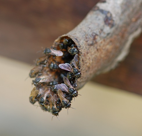 Wächterinnen am Stockeingang der Art Scaptotrigona depilis