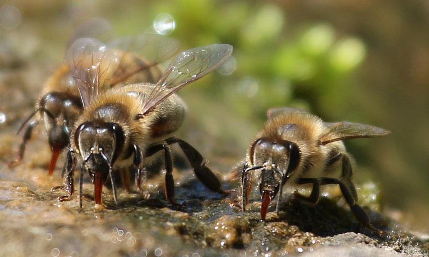 Bienen beim Trinken von Wasser.