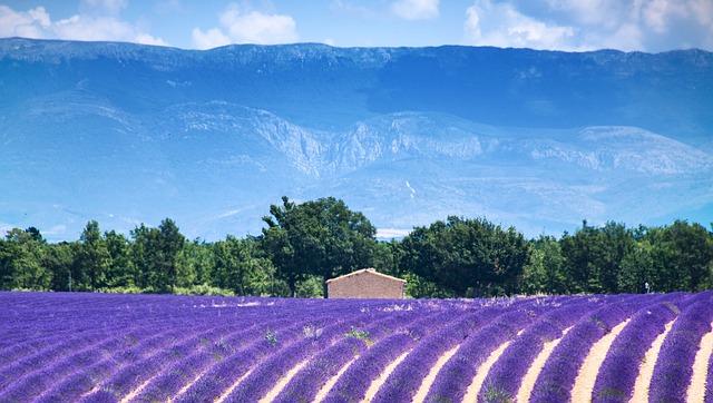Lavendel wird in der Provence großflächig angebaut.