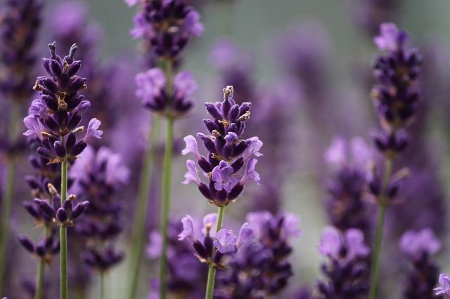 Lavendelhonig aus der Lavendelblüte.
