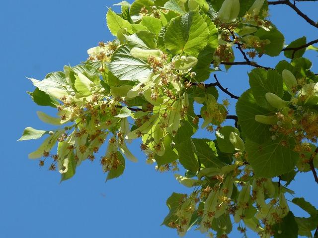 Lindenblüte oder Honigtau - Ursprung ist die Linde