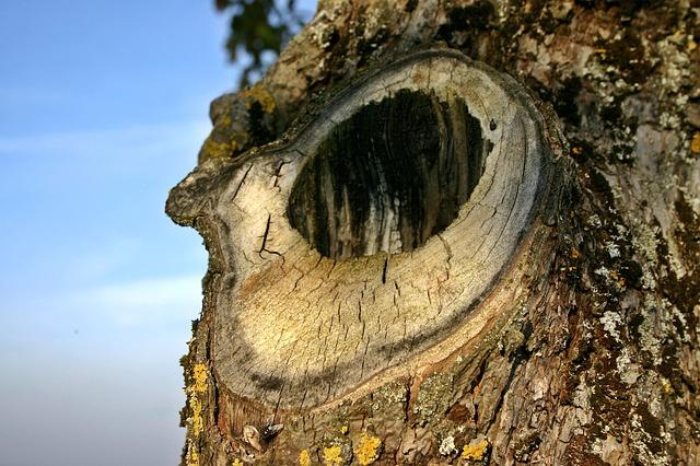 Baumhöhlen sind die Heimat von wilden Honigbienen.