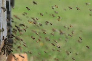 Bienen versammeln sich zum Tratschen.
