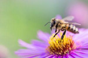Die Symbiose von Bienen und Blumen